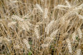 Ears of rye in the field Royalty Free Stock Photo