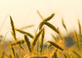 Ears of rye at sunset Stock Photography