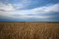 Ears of wheat agriculture good weather evening Royalty Free Stock Photo
