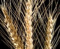 Ears of wheat on a black background Royalty Free Stock Photo