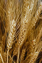 Ears of wheat bunch ripe Stock Images