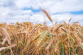 Ears of wheat close up the natural on the field Royalty Free Stock Photos