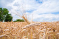 Ears of wheat close up the natural sky background Royalty Free Stock Photos