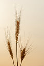 Ears of wheat illuminated by specific morning light cereals isolated on sky background Stock Photo