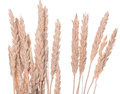 Ears of wheat or rye Royalty Free Stock Photo