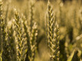 Ears of wheat  in the sunlight cornfield Background Royalty Free Stock Photo