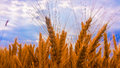 Ears of wheat yellow with blue sky on background Stock Images