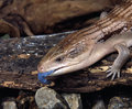 Earstern blue tongue lizard a lyng on a piece of wood and some rocks showing his Royalty Free Stock Image