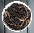 Earth worms little bucket with Royalty Free Stock Photo