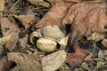 Earthstar geastrum fornicatum single fungi on ground Royalty Free Stock Image