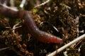 Earthworm Royalty Free Stock Photo