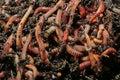 Earthworms dendrobena veneta for fishing or compost Stock Photo