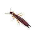 Earwig euborellia crawling white background Stock Photos