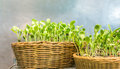Easily grow indoor sunflower sprouts in rattan textile basket Royalty Free Stock Photo
