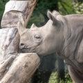 East African black rhino in profile. Photographed at Port Lympne Safari Park near Ashford Kent UK. Royalty Free Stock Photo