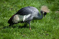 East African crowned crane (Balearica regulorum gibbericeps). Royalty Free Stock Photo
