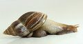 East African land snail over white Stock Images
