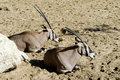 East African Oryx lying on the sand Royalty Free Stock Photo