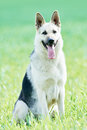 East european purebred shepherd dog in field Royalty Free Stock Photo