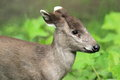Eastchinese tufted deer the detail of Stock Image
