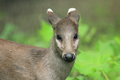 Eastchinese tufted deer the upper body of Stock Photos