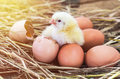 Easter baby chicken with broken eggshell in the straw nest on morning Stock Images