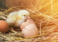 Easter baby chicken with broken eggshell in the straw nest on morning Stock Photo