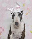 Easter Bully Bull Terrier Stock Photography