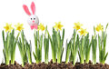 Easter bunny and Daffodils Royalty Free Stock Images