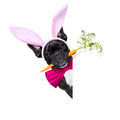 Easter bunny dog Royalty Free Stock Photo