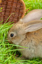 Easter bunny with eggs in basket grass Stock Photo