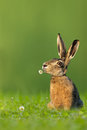 Easter bunny hare sitting in meadow with flower in mouth on green background Royalty Free Stock Photography