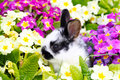 Easter bunny between primroses small Royalty Free Stock Photos