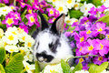 Easter bunny between primroses small Stock Photography