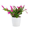 Easter Cactus (Rhipsalidopsis Royalty Free Stock Photography