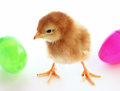 Easter chick a baby with colorful eggs Stock Photos