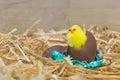 Pasqua pulcino