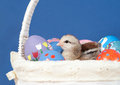 Easter chick resting in an Easter basket Royalty Free Stock Images