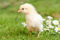 Easter chick young exploring the grass Royalty Free Stock Photo