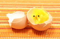 Easter chicken with broken eggshell, chicken or the egg Royalty Free Stock Photo