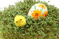 Easter chicken and painted egg on green watercress closeup of funny colorful lying fresh cuckoo flower fresh Stock Photos
