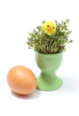 Easter chicken on watercress in green cup and fresh egg closeup of funny yellow lying cress decoration isolated Stock Photo
