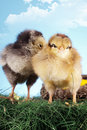 Easter chickens Royalty Free Stock Photo