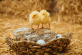Easter chickens in a basket with eggs Stock Images