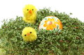 Easter chickens and painted egg on fresh green watercress closeup of funny colorful lying cuckoo flower Stock Photo