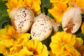 Easter colored eggs and yellow flowers Royalty Free Stock Photo