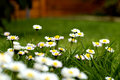 Easter daisies to celebrate the Royalty Free Stock Images