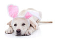 Easter dog bunny labrador puppy in bunny ears Stock Images