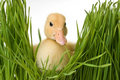 Easter Duck in the Grass Royalty Free Stock Photography