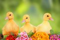 Easter ducklings with colorful flowers Royalty Free Stock Image